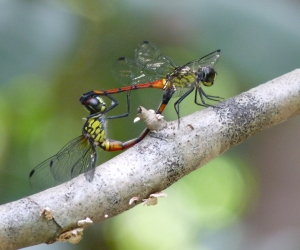 wild_wings_swampy_things_dragonflies_Red Swampdragon mating