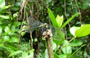 wild_wings_swampy_things_dragonflies_Striped Swampdragon