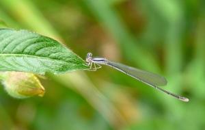 wild_wings_swampy_things_Silver Wisp - Agriocnemis argentia