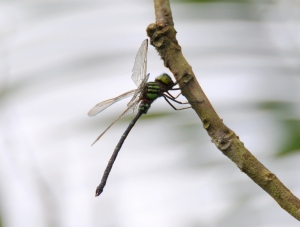 wild_wings_swampy_things_Green-striped Darner (male) - Austroaeschna forcipata