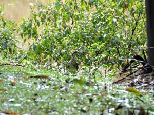 wild_wings_swampy_things_birds_bushstonecurlew