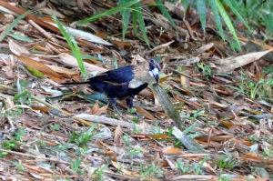 wild_wings_swampy_things_birds_black butcherbird