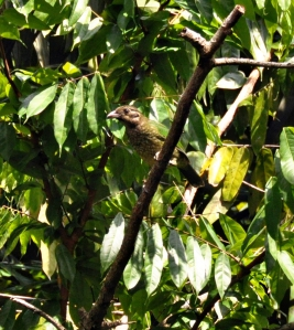 wild_wings_swampy_things_birds_catbird