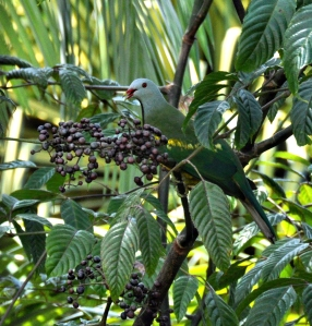 wild_wings_swampy_things_birds_wompoo_fruit-dove