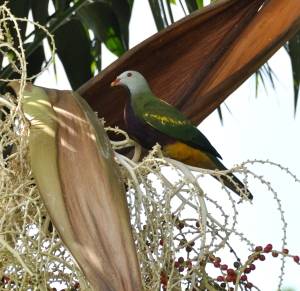 wild_wings_swampy_things_birds_wompoo_fruit-dove
