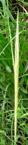 wild_wings_swampy_things_Oryza meridionalis-close