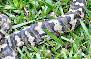 wild_wings_swampy_things_reptiles_Carpet Snake sloughing detail