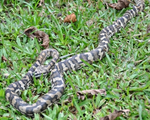 wild_wings_swampy_things_reptiles_Carpet Snake sloughing