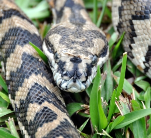 wild_wings_swampy_things_reptiles_Carpet Snake sloughing_front view
