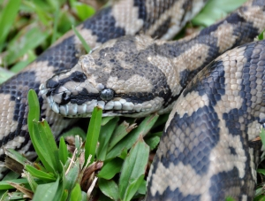 wild_wings_swampy_things_reptiles_Carpet Snake sloughing_side view