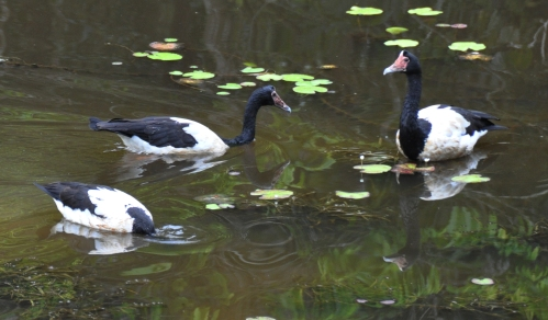 wild wings swampy things Magpie Geese feeding