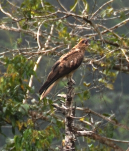 wild wings swampy things Whistling Kite calling