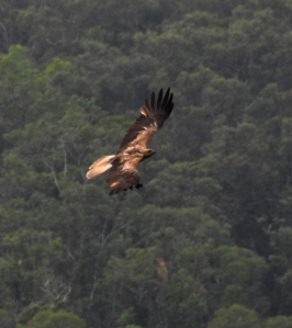 wild wings swampy things Whistling Kite in flight