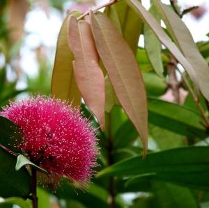 wild_wings_swampy_things_Syzygium wilsonii