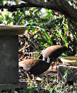 wild_wings_swampy_things_birds_orange-footed scrubfow