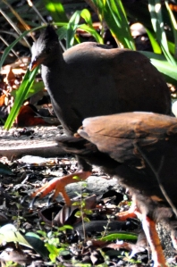 wild_wings_swampy_things_birds_orange-footed scrubfowl