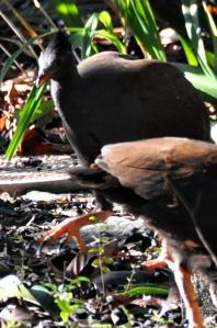 wild_wings_swampy_things_birds_orange-footed scrubfowl