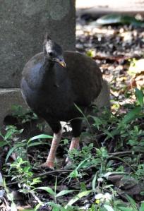 wings_swampy_things_birds_orange-footed scrubfowl