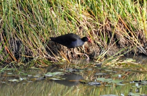 wild_wings_swampy_things_birds_swamp hen
