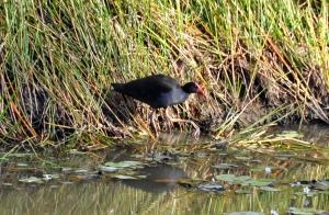 wild_wings_swampy_things_birds_swamp hen