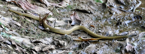 wild_wings_swampy_things_reptiles_keelback snake