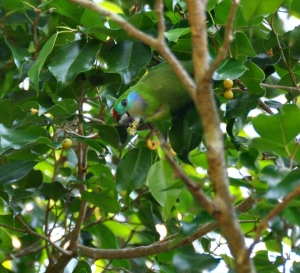 wild_wings_swampy_things_birds_double-eyed fig-parrot-female