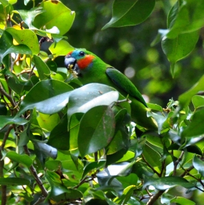 wild_wings_swampy_things_birds_double-eyed fig-parrot-male feeding
