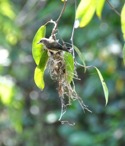 wild_wings_swampy_things_birds_large-billed gerygone_nest building