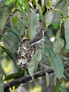 wild_wings_swampy_things_birds_brown-backed honeyeater