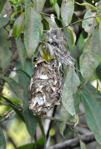 wild_wings_swampy_things_birds_brown-backed honeyeater nest