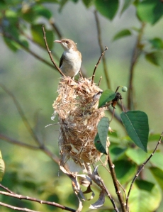 wild_wings_swampy_things_bb honeyeater building nest