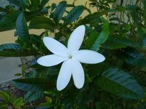 wild_wings_swampy_things_flowers_gardenia-hybrid