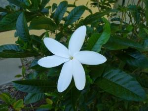wild_wings_swampy_things_flowers_gardenia-hybrid
