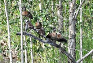 wild_wings_swampy_things_spotted whistling ducks perching