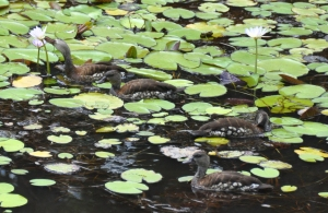 wild_wings_swampy_things_birds_spotted whistling ducks