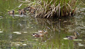 wild_wings_swampy_things_whistling ducks-wandering and spotted