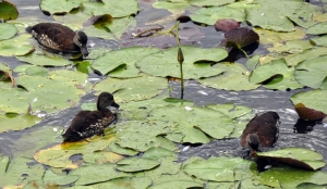 wild_wings_swampy_things_spotted-whisling-ducks feeding