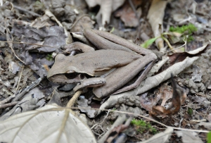 wild_wings_swampy_things_litoria-junggay-female_camouflaged