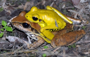 wild_wings_swampy_things_Litoria-jungguy