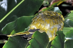wild_wings_swampy_things_yellow oriole sleeping