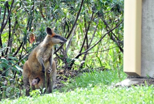 wild_wings_swampy_things_wallaby with joey
