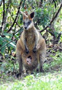 wild_wings_swampy_things_swampy-wallaby