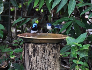 Wild_Wings_Swampy_Things_Daintree_Birds_LovelyFairyWrens bathing