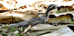 wild_wings_swampy_things_ bush stone curlew