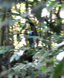 Cassowary in Baralba Corridor