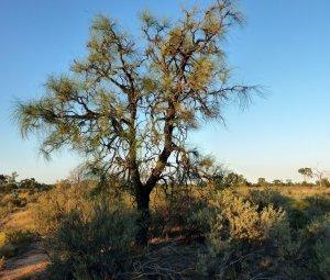 Hakea chordophylla - Bootlace Oak