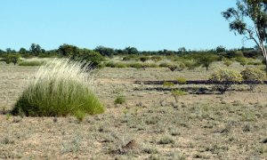 Pin Cushion Spinifex