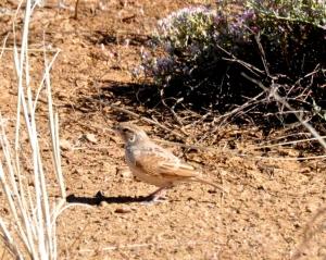 Horsfield's Bushlark