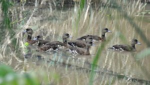 Spotted Whistliing Ducks