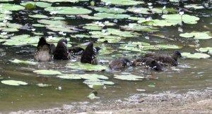Spotted Whistling Ducks feeding